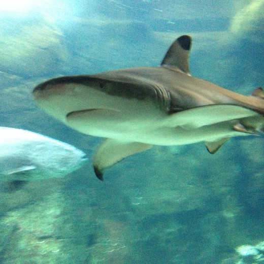 The Blacktip Reef Shark !