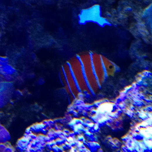 Another Peppermint fish within the protection of corals.