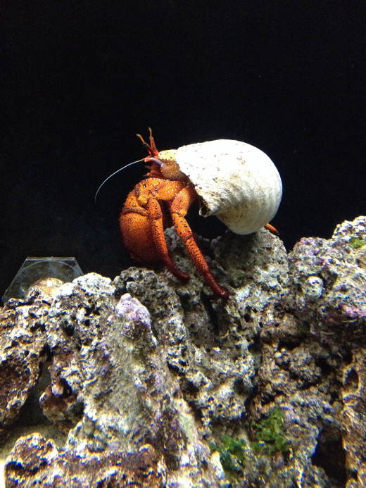 Hermit crab walking on some coral.