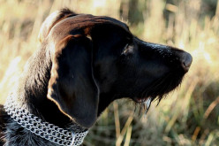 German wirehaired pointer – a friend for life