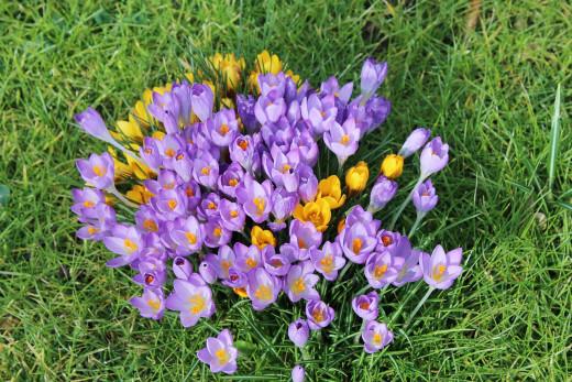 Purple and yellow garden crocus flowers