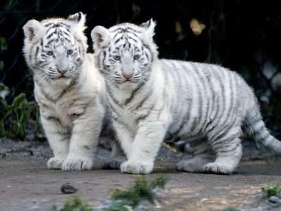 Two White Tiger Cubs