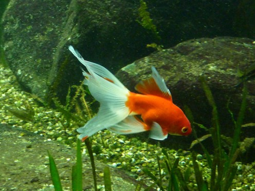 Goldfish are not good tankmates for Betta fish for many reasons.