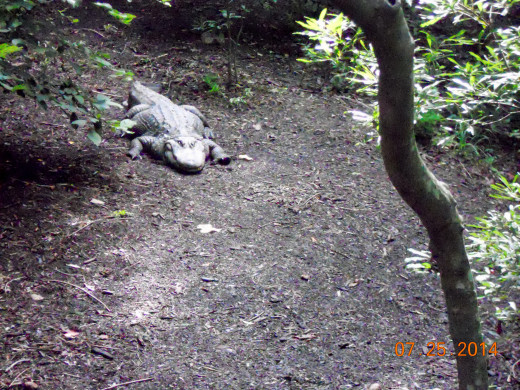 Crocodiles and alligators are also survivors of another time. just