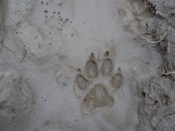 A student photo recreating the hound print found near Sir Charles' body.