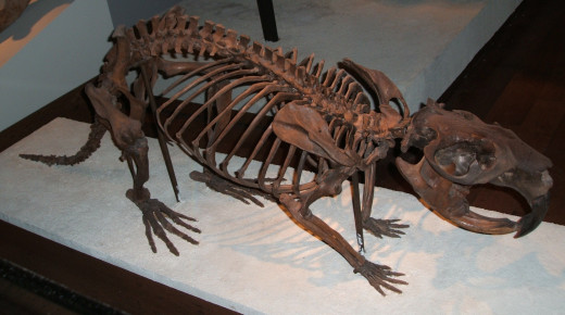 Castoroides was a giant (up to 7 feet long & 275 pounds) North American beaver that went extinct about 10,000 years ago.