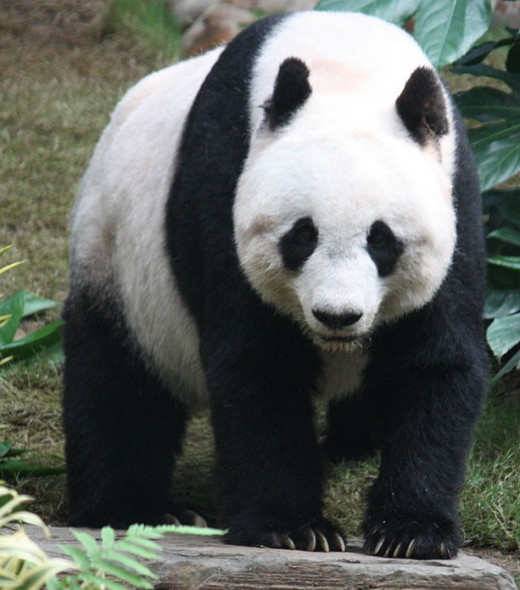 The threatened giant panda has become a symbol of conservation