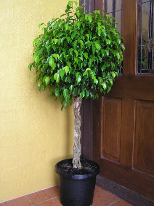 Benjamin Ficus stays small for 3 to 4 years. The idea is to keep it potted for easy moving. If it gets to tall, move just off the patio out from under the awning.