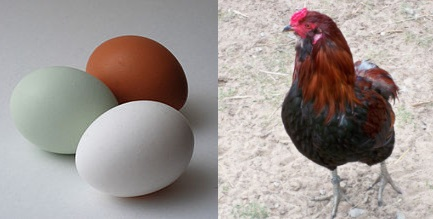Aracuana egg, and chicken