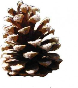 Courtesy   http://sarahmeyerwalsh.files.wordpress.com/2007/12/pinecone.jpg