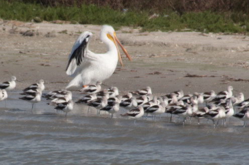 American White Pelican and Avocets