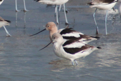 Avocet pair - the redish head feathers indicate a male coming into mating colors