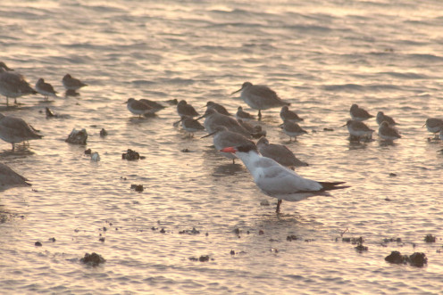 Mixed Flock of Shore Birds
