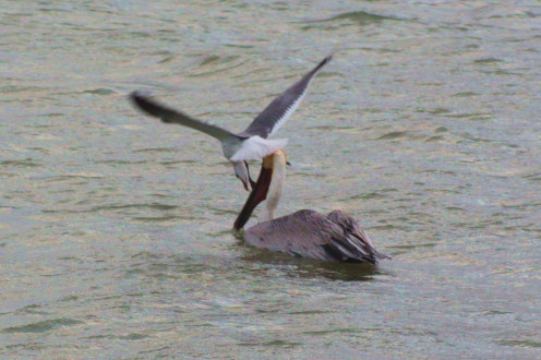 Gull harassing a Brown Pelican
