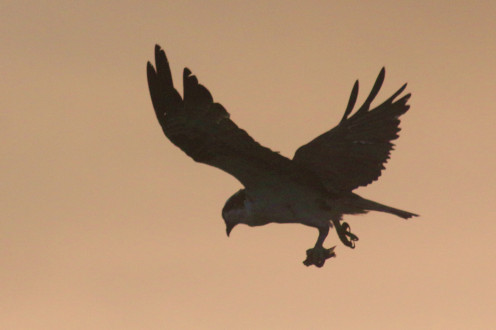 Osprey carrying a small snack into the sunset