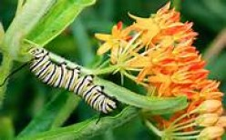 Monarch caterpillar eating leaves of milkweed plant.