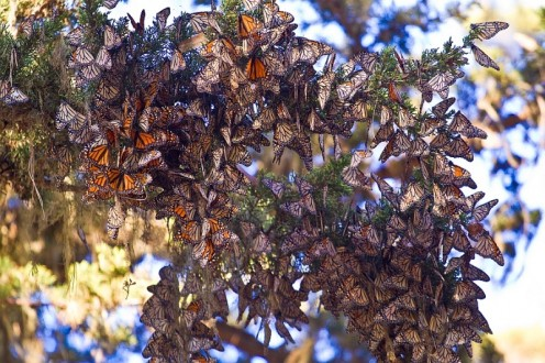 Butterflies in Pacific Grove, California during winter migration.