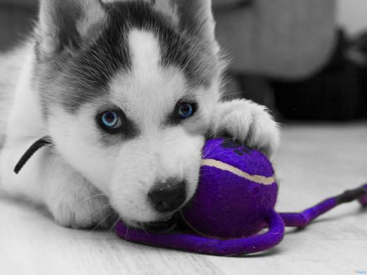 A Siberian Husky puppy