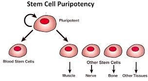 showing versatility of Puripotent stem cells