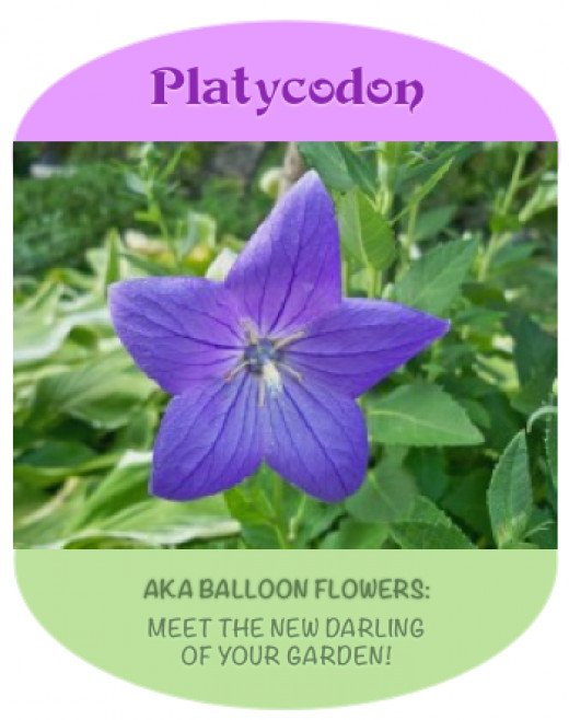 Balloon Flowers have delightful habits and stunning blooms! Known as Platycodons in some circles, children love their common name.