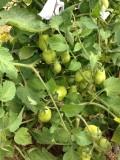How to Grow Organic Tomatoes in Your Garden