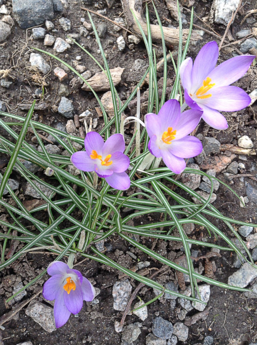 Spring crocuses in bloom - a sign of hope and positivity