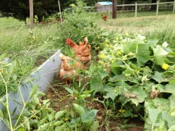 The Benefits of Raising Laying Hens in Your Backyard
