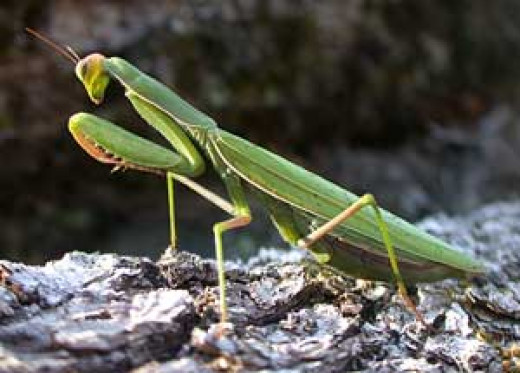 Praying mantis (Mantodea)