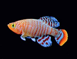 Killifish - how to keep and breed them