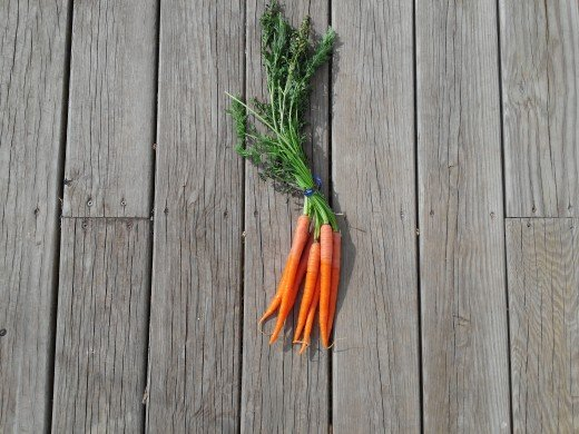 A nice bunch of Carrots that have been soaked for a couple of days.