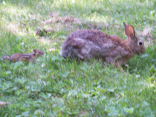 The rabbit has always to be on the look out for faster predators.