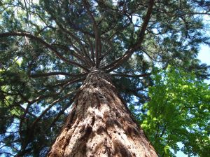 A sequoia can live up to 3,000 years.
