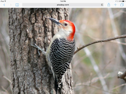 The Red Bellied woodpecker is a common winter visitor to the Northeastern states.  And also is a year round resident in many areas throughout the U.S.