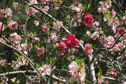 Fruit trees in blossom (c) A. Harrison