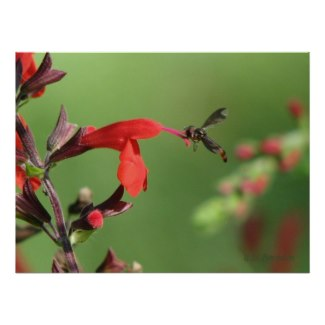 Two native species: the gorgeous, nectar rich Scarlet Sage and a tiny hoover fly which is pollinating the flower. These flowers are a favorite of hummingbirds and butterflies.