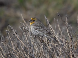 Yellow-variant adult male House Finch (Carpodacus mexicanus) camouflaged in brush.