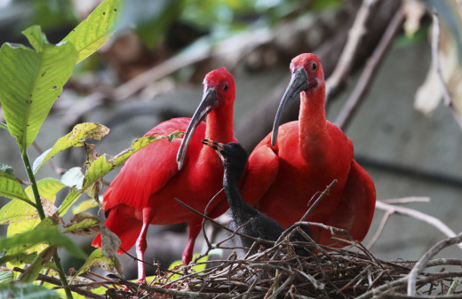 Trinidad and conservation of the Scarlet Ibis is part of the story in the novel Café Au Lait. Birds are born black but grow up red.