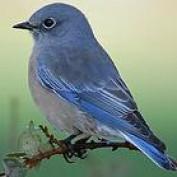 bluebird profile image
