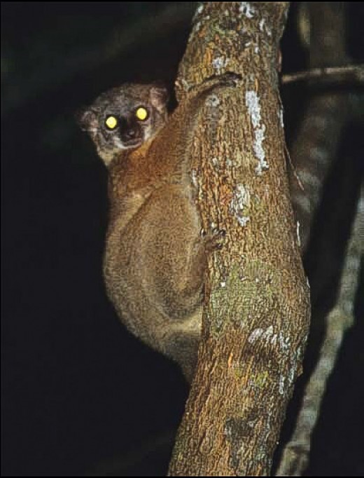 This photo shows eyeshine in a sportive lemur in Madagascar. The animal is a relative of mouse lemurs.