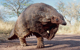 adult male Pangolin