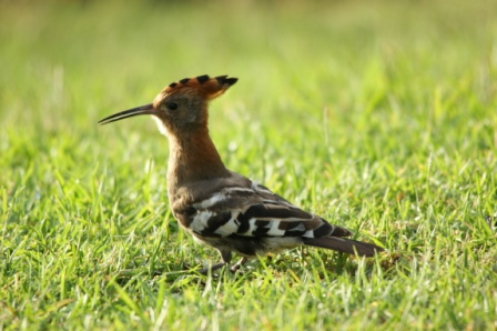 African Hoepoe- Wildernes