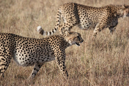 Cheetahs hunt in small groups
