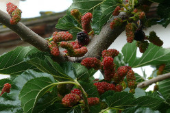 Mulberry Tree Health Benefits of Fruit, Leaves, Nutrition, Cultivation