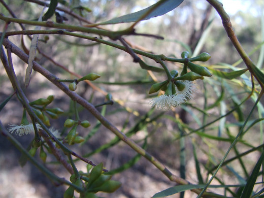 The oil produced by the Eucalyptus tree is traditionally used as a decongestant, in addition to its use in lotions to treat foot pain.