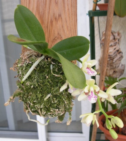 Air orchids