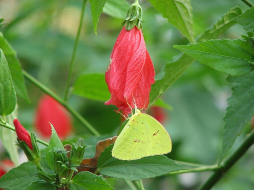 Sulfur butterflies visit the nectar rich giant turk's cap flowers in fall.