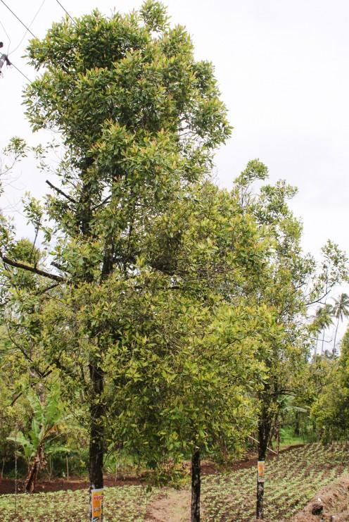 Clove trees, or Syzygium aromaticum