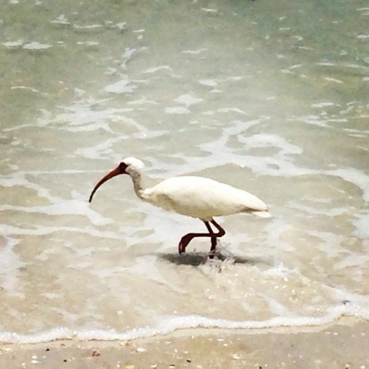 The ibis...a bird that inspires one's creative writing side. One of my animal spirit guides.