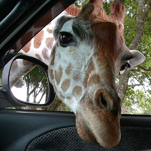 Giraffe peeping its head inside the car