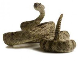 When a rattlesnake does this, DO NOT MOVE.